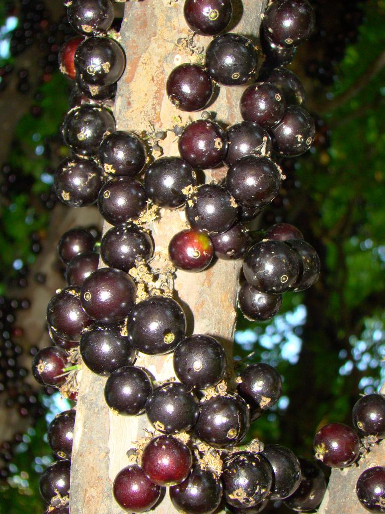 Mariajose un rbol poco com n llamada fruta jabuticaba for Arbol comun