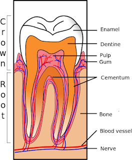 Image showing the anatomy of a tooth (cross-section)