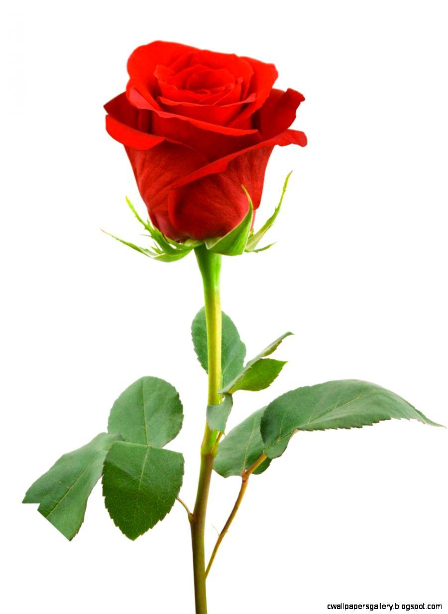 red single flower   Flowers Ideas