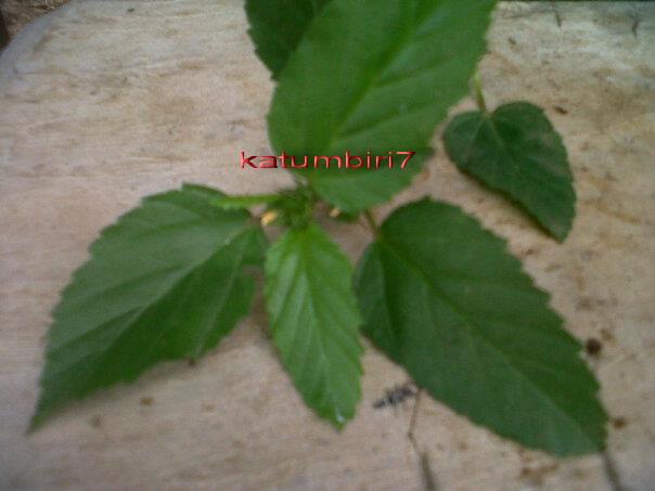 daun sadagori (sunda)