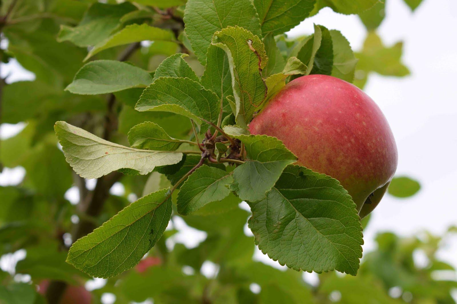 .... fruktträd och bärbuskar .....