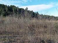 Grans camps d'ametllers abandonats ocupen tota la Plana de Sant Jaume