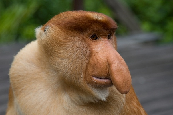 planet of the apes 2011 with Proboscis Monkey on Sara Canning moreover Nycc Nicolas Cage Originally Considered For Crank 205210 likewise Empire S2 Ep2 Pic 9 Becky G As Valentina besides Dscn1356 likewise Proboscis Monkey.