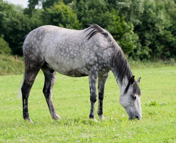 Light Brown Horses Dapple Grey Horse, pic...