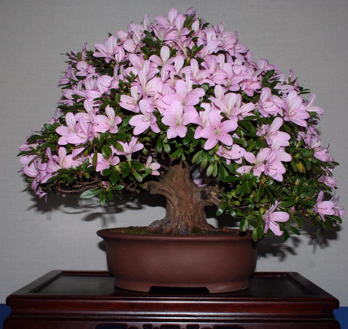 Huge Bonsai Collection