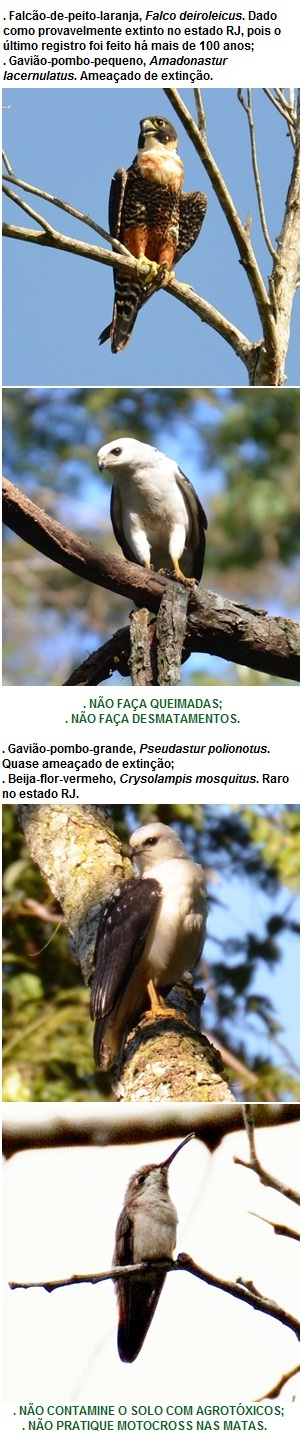 Pássaros raros observados em Miracema
