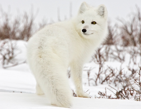 White wolf will the arctic fox be able to survive for Dove vive la volpe