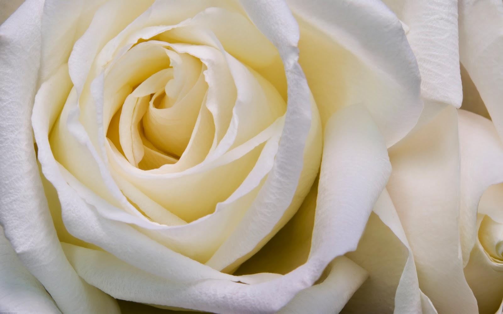 Mawar Putih | Gambar Bunga | White Rose Wallpaper