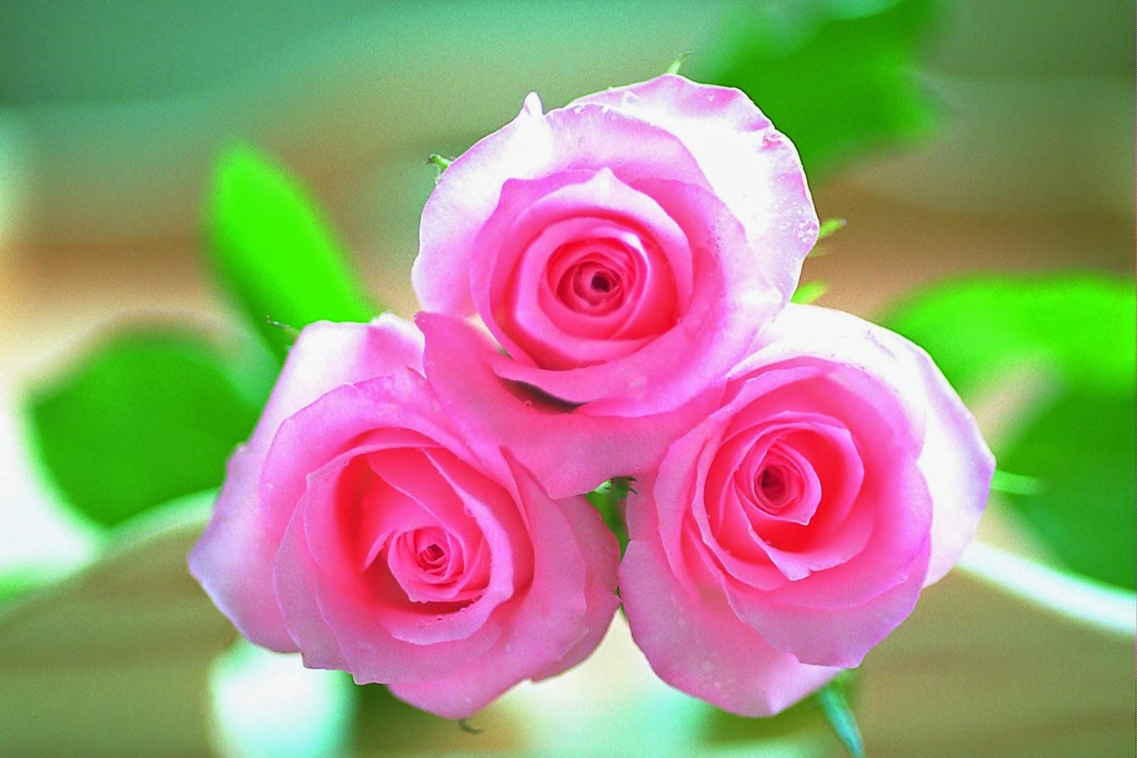 pink rose flowers desktop wallpapers cool desktop wallpapers