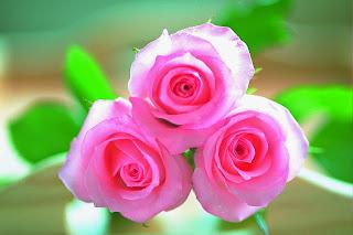 Beautiful Pink Roses Image