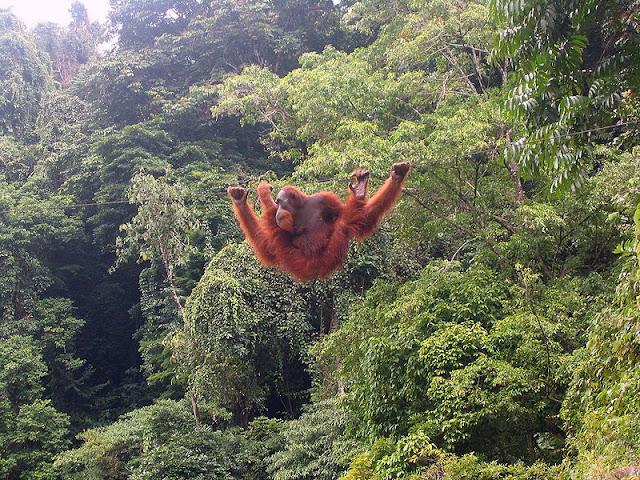 COP : Aktivitas Asia Pulp Ancam Populasi Orangutan