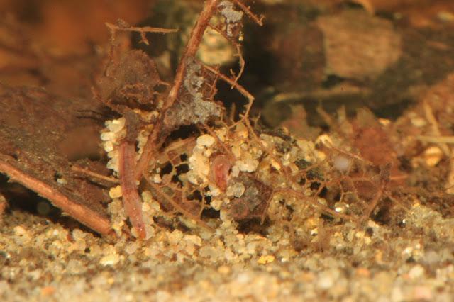 midge larvae building sand-tubes