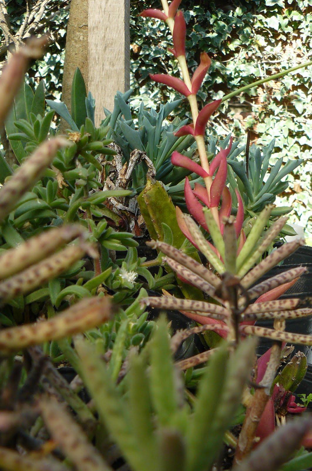 Jardines de cactus y suculentas crassula erosula for Jardines con cactus
