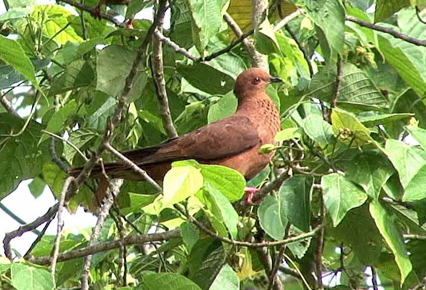 Mackinlay´s cuckoo dove