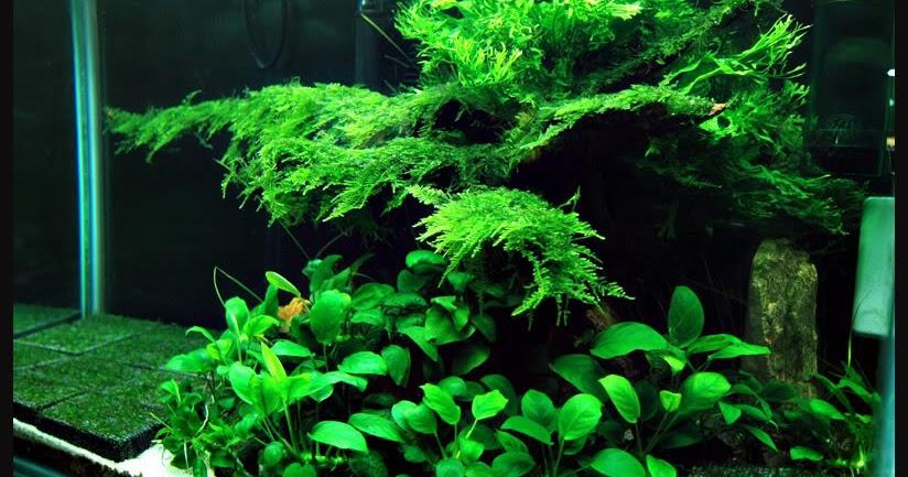 Jenis jenis ikan hias dan tanaman aquascape aquarium dengan desain - Gambar aquascape ...