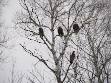 Off the beaten path... Eagles along the Mississippi River near Jacobson, Minnesota