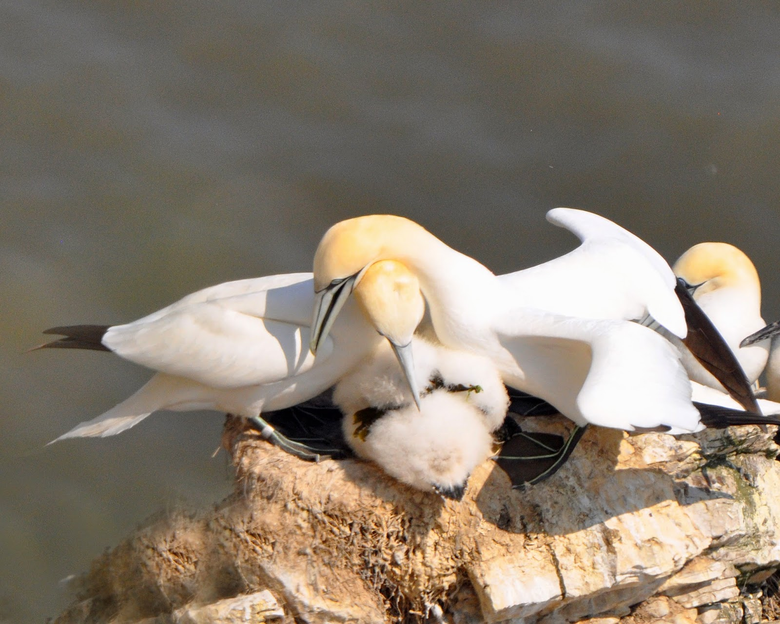 adult gannets display