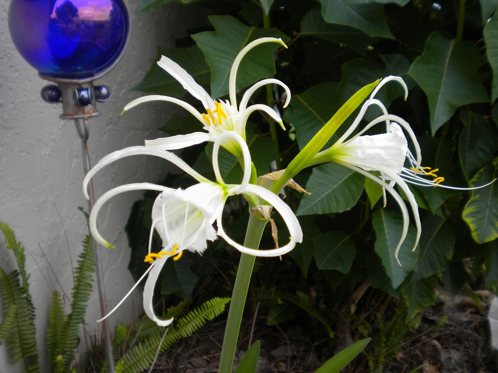 African Spider Lily This African Lily is One of my