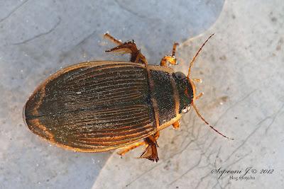 Sárgaszegélyű csíkbogár (Dytiscus marginalis)