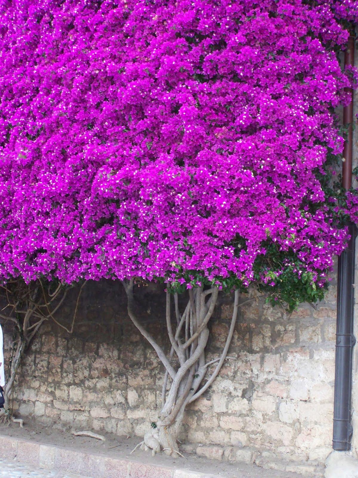 con encanto buganvillas hay qui n de m s On fotos de buganvillas