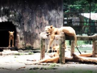 singa sedang tidur salah satu koleksi kebun binatang serulingmas banjar negara