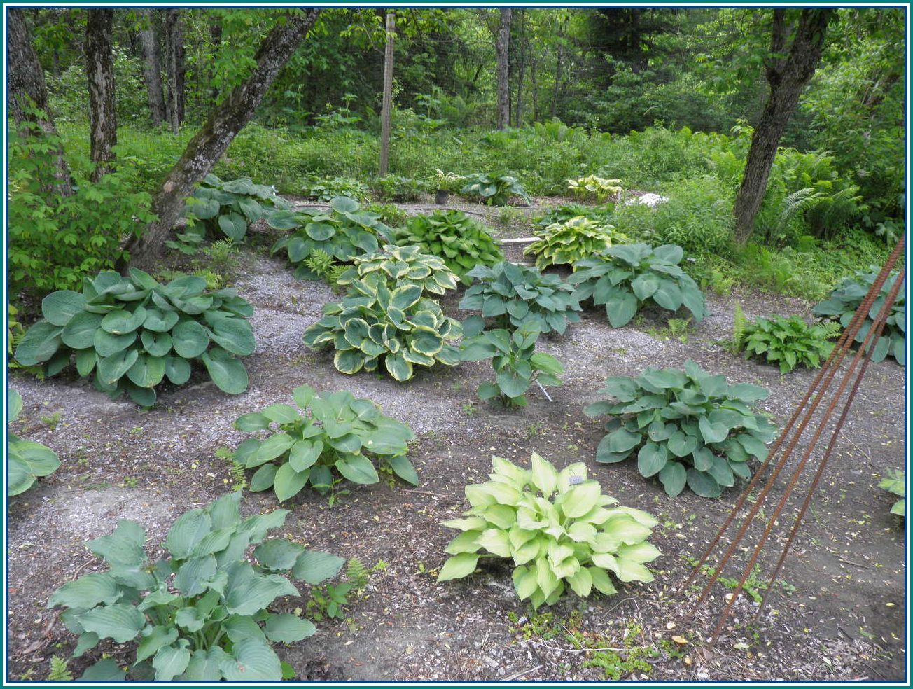 The vermont gardener hosta planning for Hosta garden designs