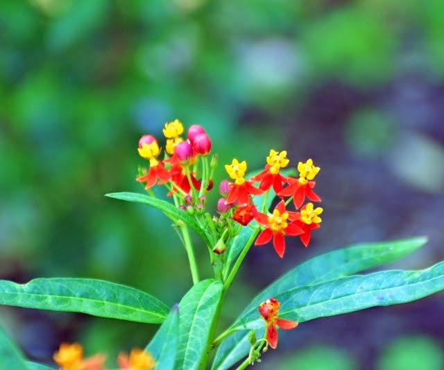 Tropical Milkweed, Asclepias curvassica 6523