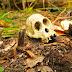 Demi Kelapa Sawit, Ribuan Orangutan Dibantai