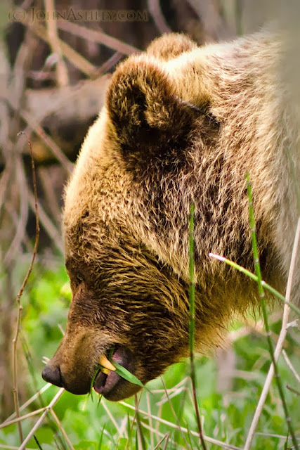 Grizzly bear eating forbs and grass (c) John Ashley