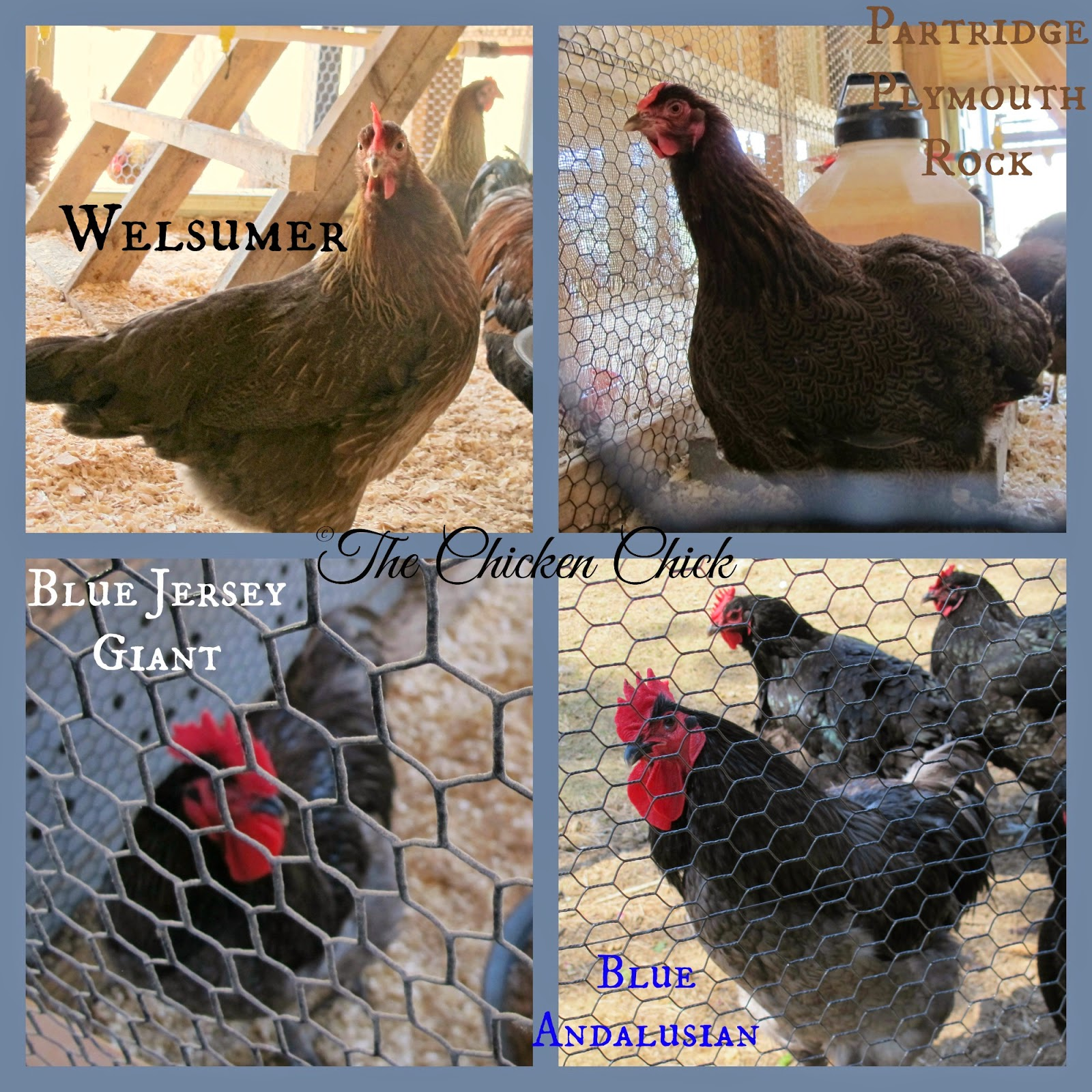Heritage Chicken Breeds at P Allen Smith's chicken barn: Welsumer, Barred Plymouth Rock, Blue Jersey Giant and Blue Andalusian.