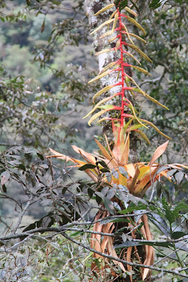 Tillandsia fendleri in a tree [13.2208 S, 72.6218 W]
