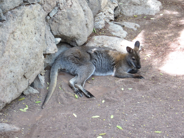 kangaroo palmitos park gran canaria