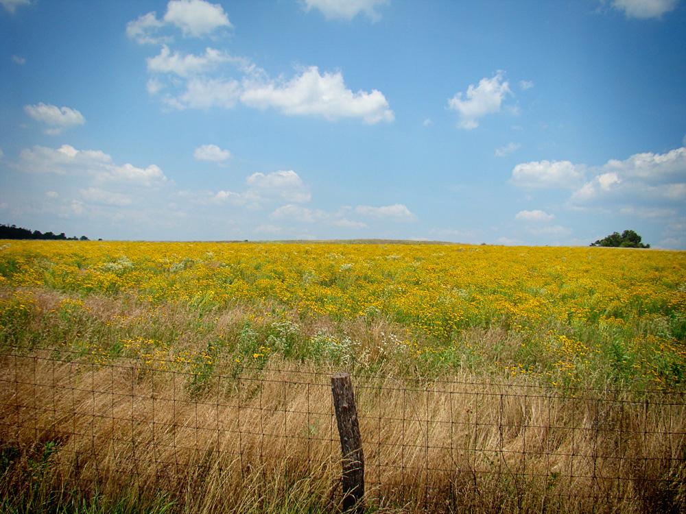 Rurification: Fields of Yellow Flowers