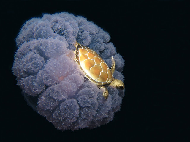 funny animal pictures, turtle on jellyfish's head