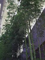 Bamboo Nurseries3