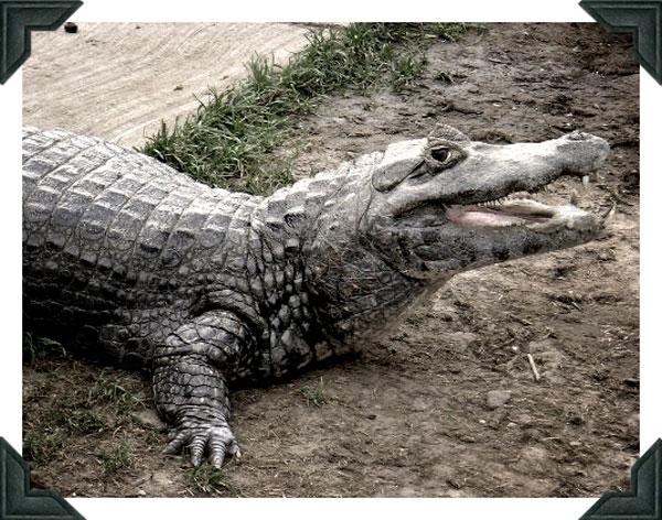 Alligator smiling after Photoshop