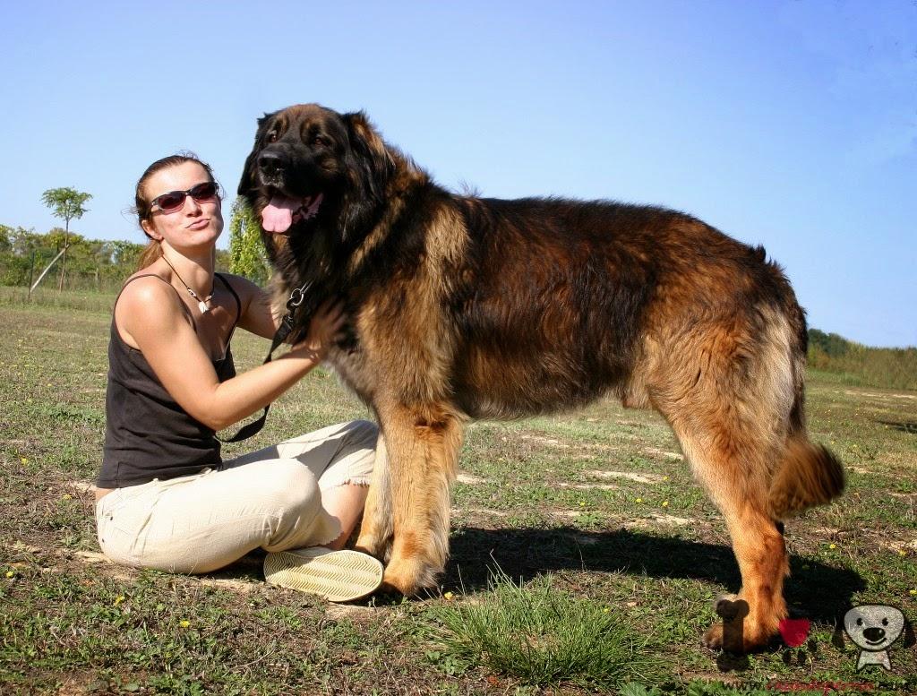 El perro Leonberger
