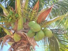 1001 manfaat tanaman kelapa atau pohon kelapa