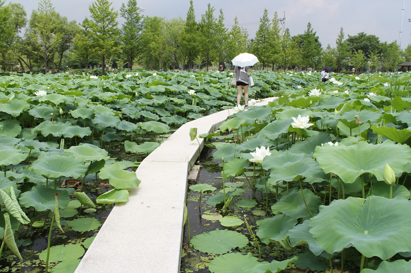 7 2015 koreas hidden gem have you ever seen the lotus flower i was surprised at the big size of flower almost as big as your face and giant leaf as big as enough to be able dhlflorist Image collections