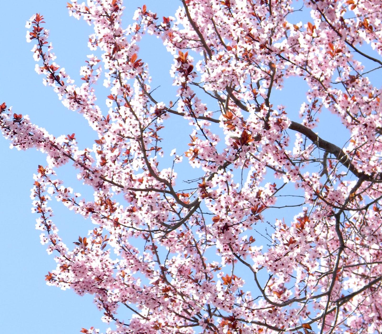 flowering pear tree bright apple blossom