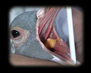 Tips Menghindari Penyakit Goam Terhadap Burung Merpati