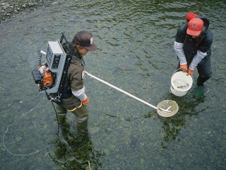 Using an Electoshocker in a shallow pool with a sampling bucket