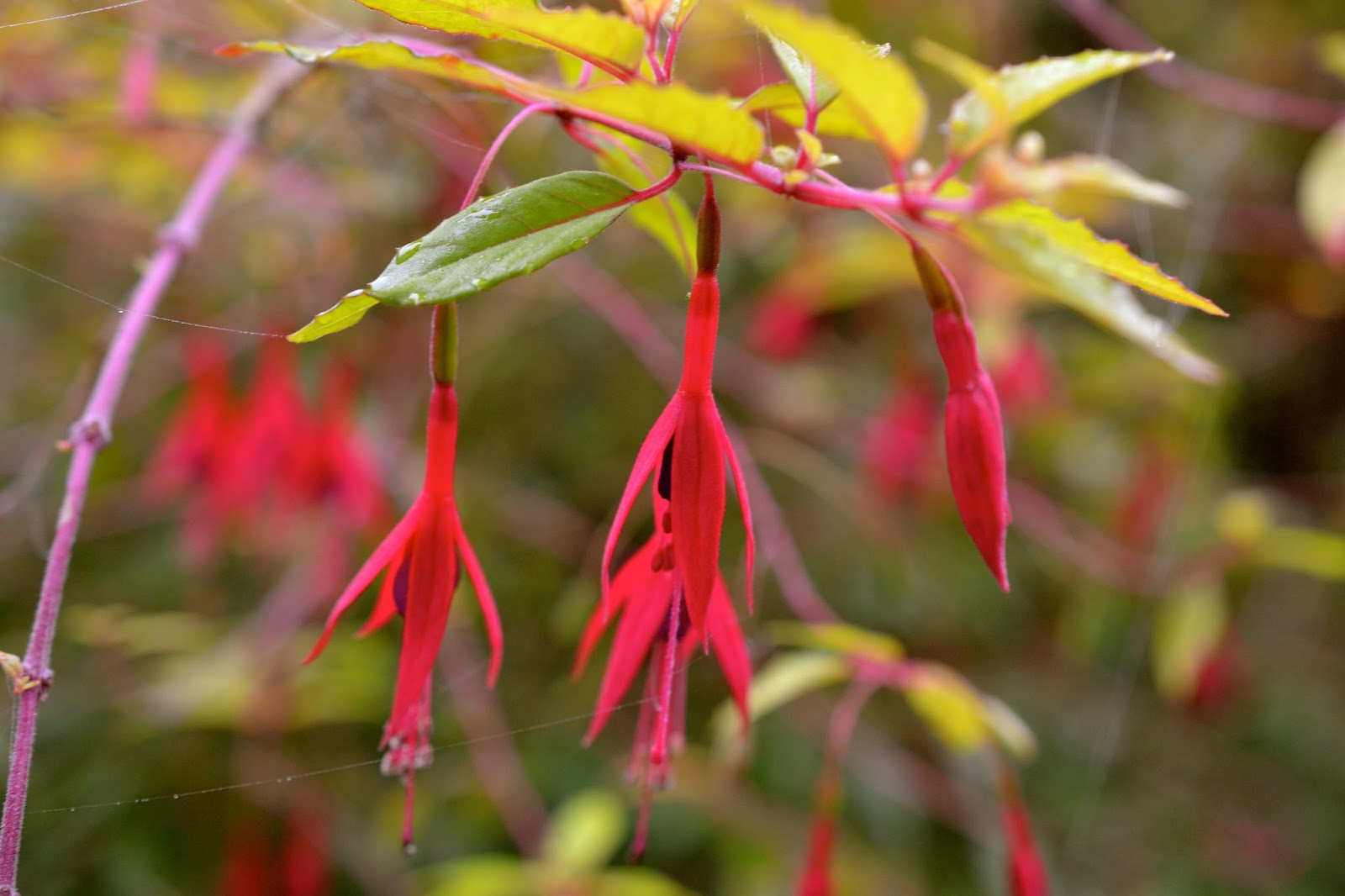 Bonney lassie garden bloggers bloom day october 2015 for Fuchsia magellanica