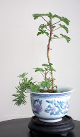 Attar of Roses scented pelargonium miniature bonsai