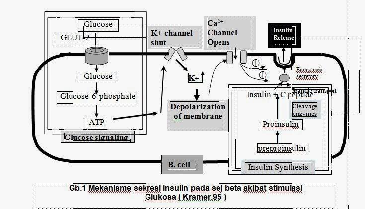 Proses Pembentukan Dan Sekresi Insulin