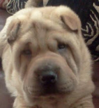 Am un Shar Pei si asta imi ocupa tot timpul!