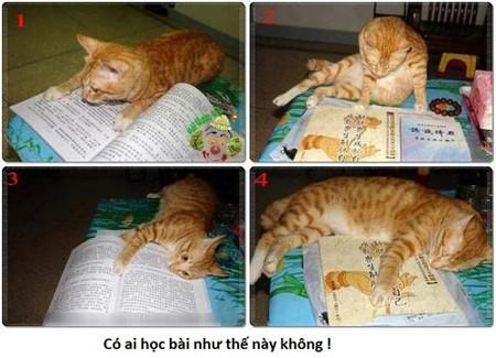 Mèo học bài