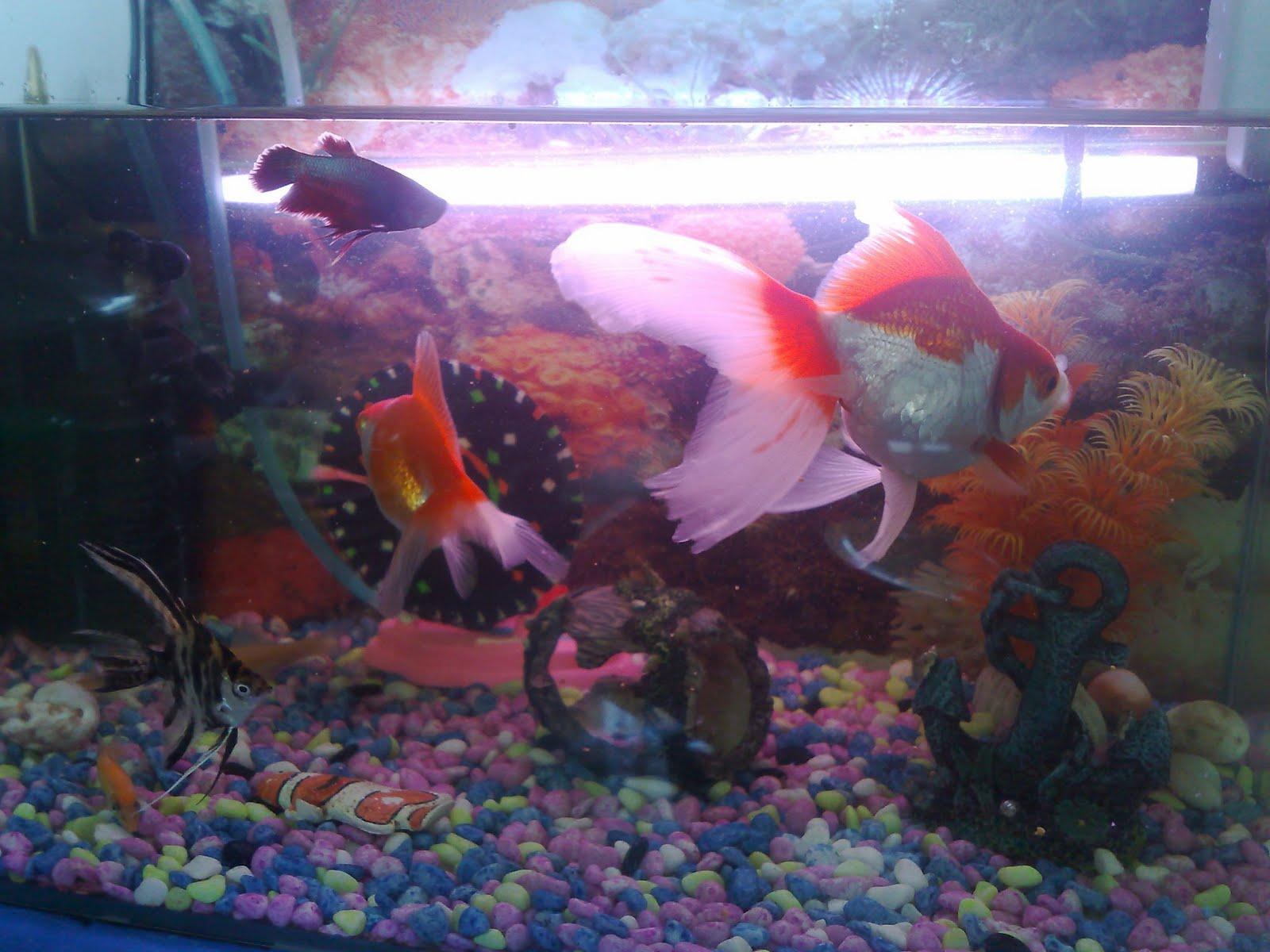 Pet fish for Pet betta fish