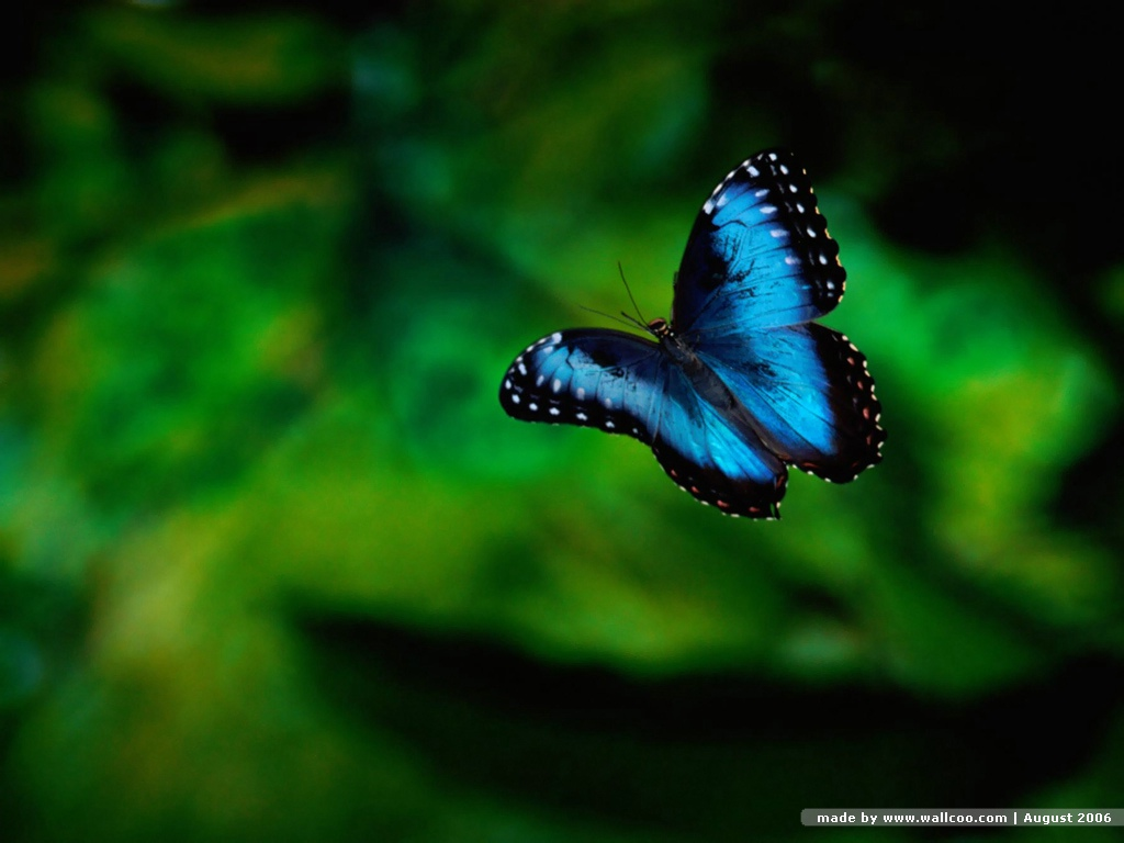 Best Blue Butterfly Wallpaper  Wallpaper ME