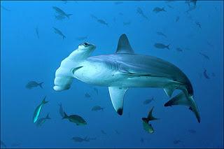 jenis-jenis hiu di indonesia